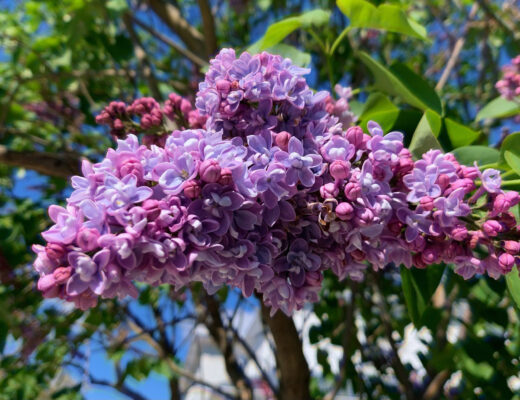 lovely purple lilac blossoms